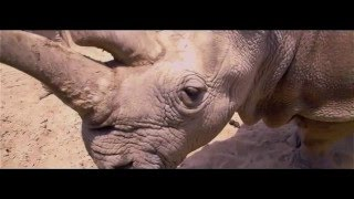 Amazing Artist Paints Endangered Rhino Live!!!  Watch Until The End!!!