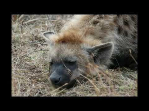 umfolozi,imfolozi,hluhluwe,game reserve,hyena,south africa