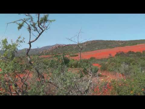 wildflowers  Namaqualand – north west cape province, Südafrika