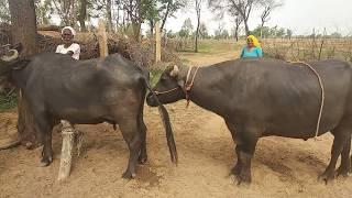 Wonderful murrah सांड meeting try by village