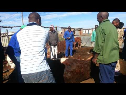 Grahamstown, South Africa Xhosa Cow Slaughtering Ritual [Mature Content]