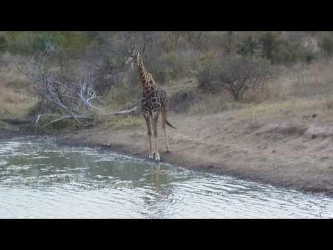 GSC 0528 – Giraffe drinks water – Shawn & Silmiya Hendricks