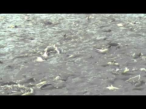 fish-breeding pond bangladesh rana ラナ 2 ばんg