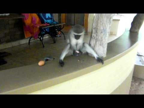 Funny Vervet Monkeys