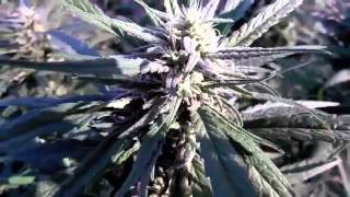 Marijuana Effects: Green Field Of Dreams