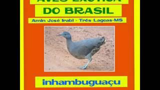 inhambu-guaçu : AVES EXÓTICA DO BRASIL  #dicas de aves exóticas