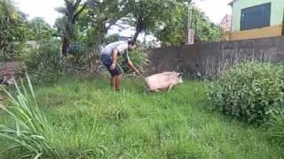 comedor de porca