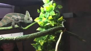 Chameleon eating in slow motion