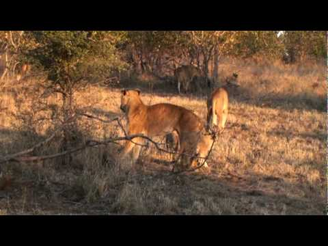 Lion cubs getting up for morning stroll