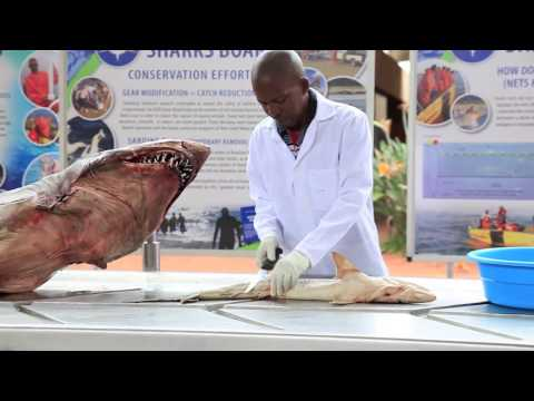 White Pointer diving and shark autopsy