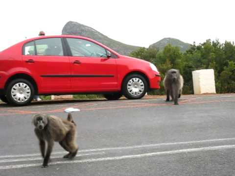 Baboons Attack – Cape Of Good Hope