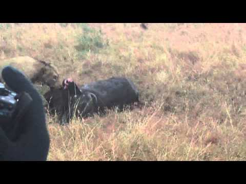 Big Lions eat buffalo at Exeter River Lodge