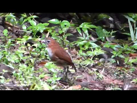 White-bellied Antpitta by Charlie Vogt