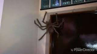 Ragno gigante (scherzo alla sorella