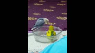 2 Lovebirds Enjoying Their Bath
