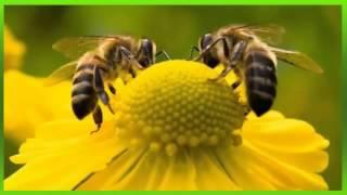 som de abelha - Bee sound - ビーサウンド