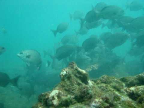 Isla Sucre Cardumen Peces feb 2 2010.MPG