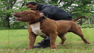 Dog training tips from Marlon Grennan!!! DarkDynastyK9s!!! (Tips from the Pit Bull whisperer)