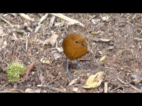 Rufous Antpitta by Charlie Vogt 00087.MTS