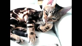 Manicure bender bengal cat detectivevegas kitten little predator tomcat