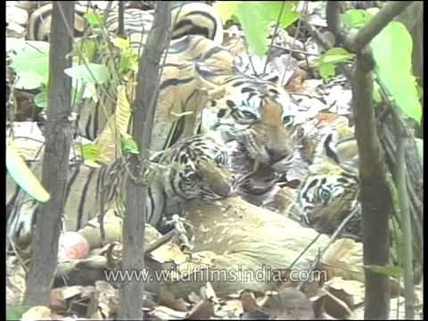 Mother tigress having lunch with cubs!