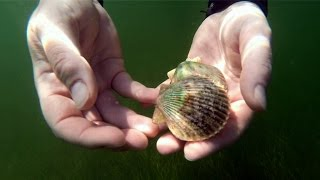 Diving for Scallops in St. Petersburg Florida