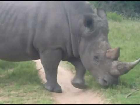 Rhinos on South Africa safari