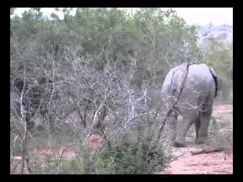Adolescent Elephant