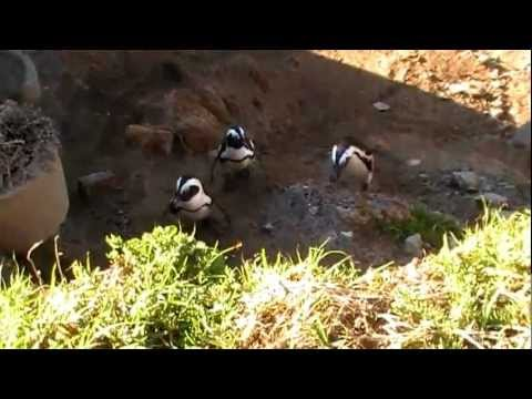 Penguins and Dassies at Boulder beach, South Africa