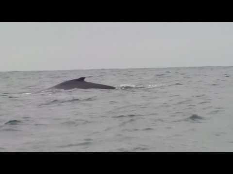 Whales ballet – Ecuador Equateur baleines
