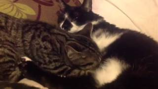 Kitten thinks 13 year old male moggy is his mummy