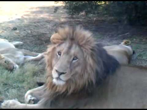 South Africa Lion Yawn – wow