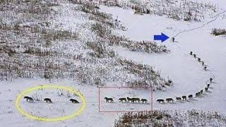 Como funciona una manada de lobos