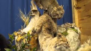 Bobcats Coming Down & More Animals