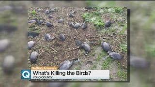 Why Did Nearly 4,000 Birds Die In The Yolo Bypass Last Week?
