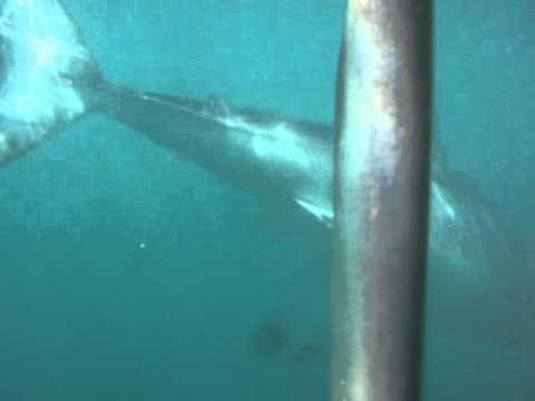 Great White Cage Diving-South Africa