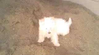Bichon Maltese playing
