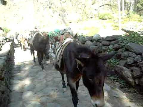 Anapurna Trek – Famous donkeys
