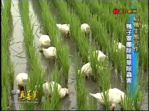 稻鴨共生(社會第三單元)