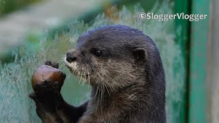 When Cute Otters Get Hungry.....