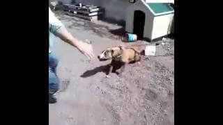 pitbul saldırısı