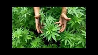 Rocca 54 cannabis