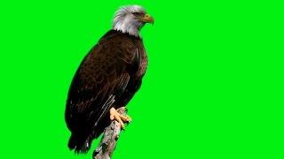 BALD EAGLE ON GREEN SCREEN - HD 1080P FREE