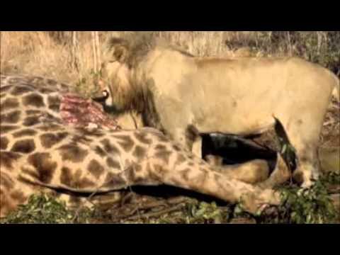 African Safari – Lion Kill Part II