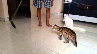 """Asian leopard cat  from borneo""free room"