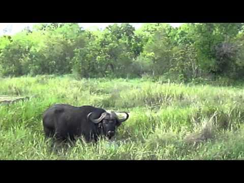 Jessie's Journeys – South Africa – Buffalo