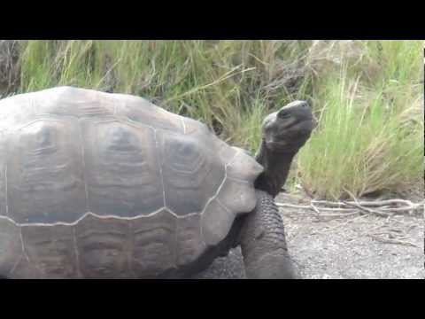 The Slow Tortoise in the Galapagos Islands Ecuador