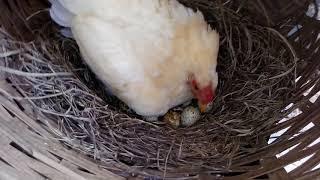 Nascimento dos filhotes de codorna na garnize