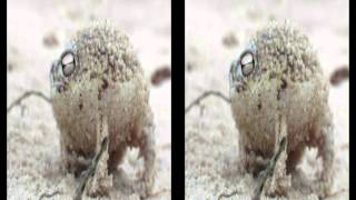 Namaqua Rain Frog