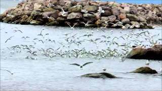 Sounds of Newfoundland Seagulls